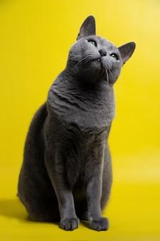 Русская голубая кошка заинтересованно смотрит вверх
