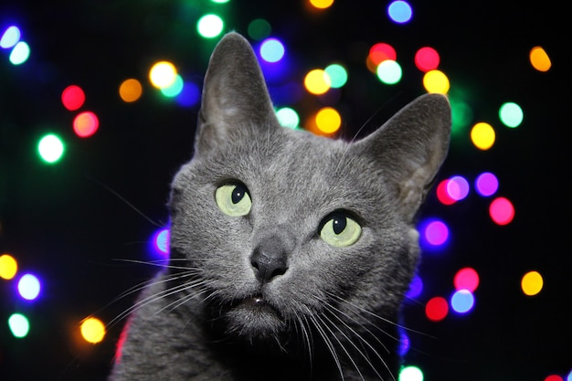 Russian blue cat looking up with interest over blurred christmas lights.