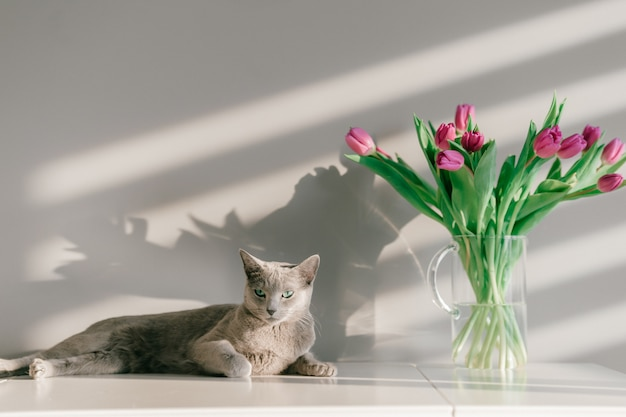 Russian blue cat lying on table in home interior near bouquet of tulips in the vase.