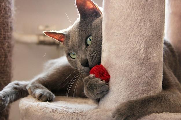 고양이 안락에 빨간색 장난감을 가지고 노는 러시아 블루 고양이
