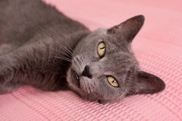 Russian blue cat relaxing on pink sofa
