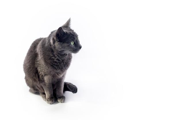 コピースペースと白い背景で隔離座って座っているロシアの灰色の猫