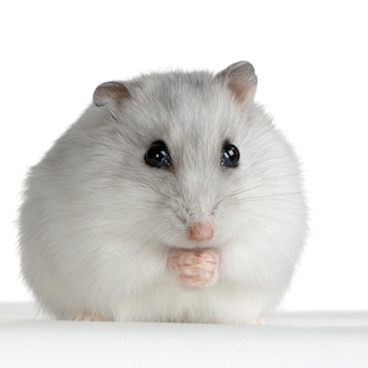 Russian hamster isolated