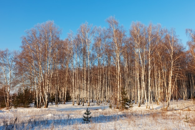 Russian landscape with birch forest
