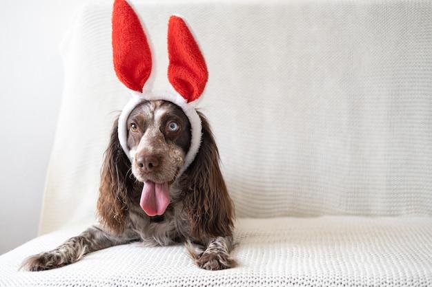 토끼 귀를 입고 다른 색상 눈 개 갈색 러시아 발 바리. 부활절. 소파에 누워. 행복한 부활절.