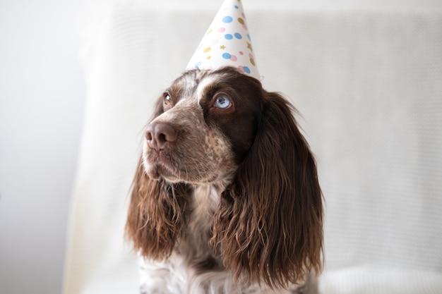 ロシアンスパニエルチョコレートメルル異なる色の目面白い犬がパーティーハットをかぶっています。休日。誕生日おめでとう。新年。クリスマス。