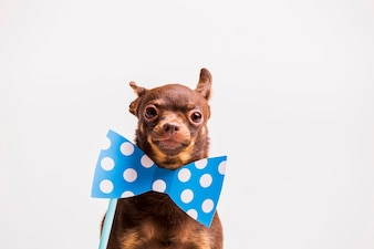 Russian toy dog with polka dot bowtie prop near the neck