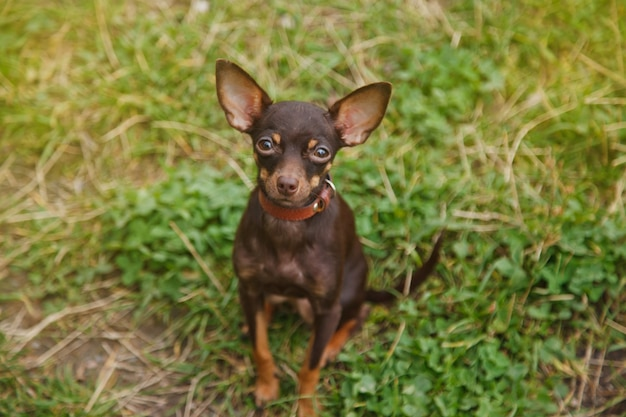 Русский той терьер собака сидит на лужайке. крупным планом ручная собака породы той терьер, бегущая на траве в природе