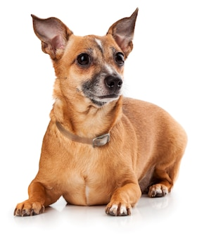 Russian toy terrier is a mini dog on white wall