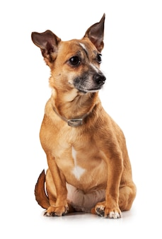 Russian toy terrier is a mini dog
