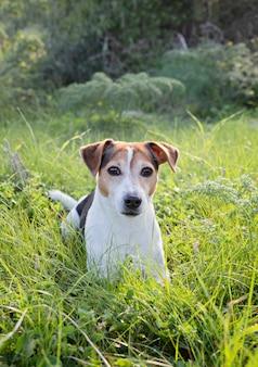 遊び心のある若い犬ジャックrussll緑の草の中に横たわる