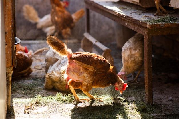 鶏小屋の素朴な茶色の鶏のクローズアップ家禽を繁殖させる鶏の自然な実際の生活条件家禽の病気ビタミン欠乏羽の喪失