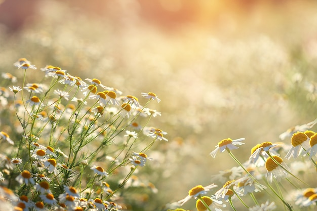 Rustic landscape. field of camomile in summer sunny day in nature.