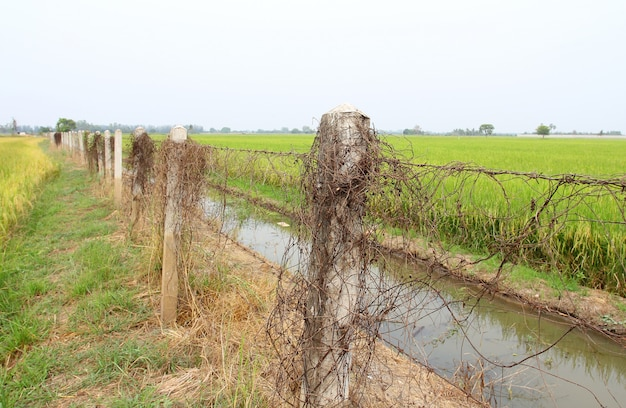 Rusty barbed wire fence in green rice field.