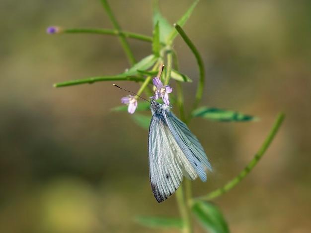緑の植物の上に座って家族belyanokのルタバガ蝶