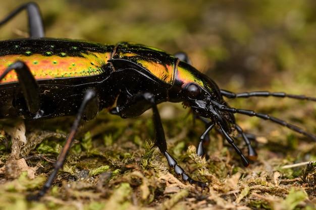 Макрос золотого жука, rutilans carabus, живой природы испании.