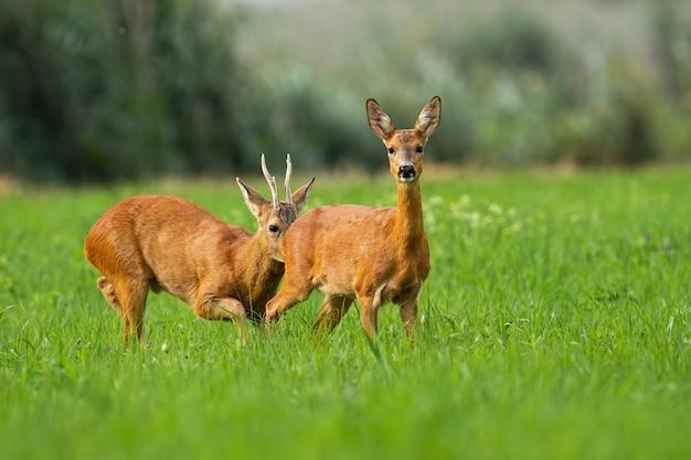 夏の日当たりの良い緑の牧草地で枝角の臭いがするノロジカ