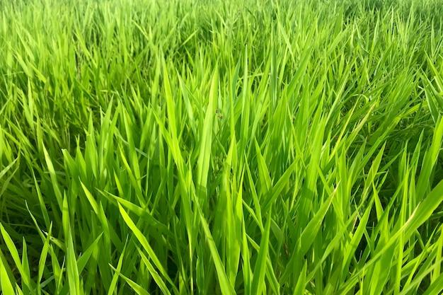 Рузи трава фон, brachiaria ruziziensis