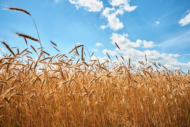 Уши ржи заделывают. поле ржи в летний день. концепция урожая
