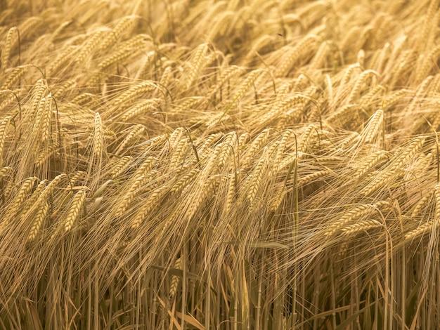 日没時のライ麦畑