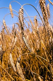 ライ麦畑は熟したライ麦のクローズアップの耳を撮影しました