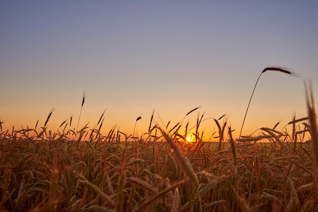 Rye field in sunset. harvest concept