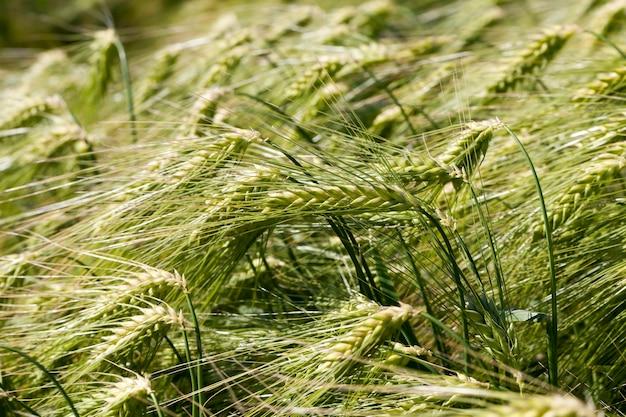 Ржаное поле с зелеными незрелыми колосками ржи, летние растения ржи в сельскохозяйственном поле