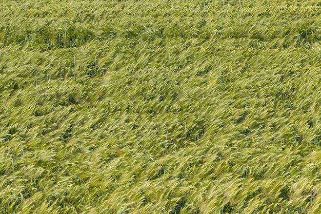녹색 설익은 호밀 이삭이 있는 호밀밭, 농업 분야의 여름철 호밀 식물