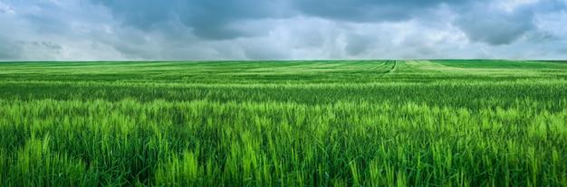 Rye green field after heavy rain, beautiful cloudly sky