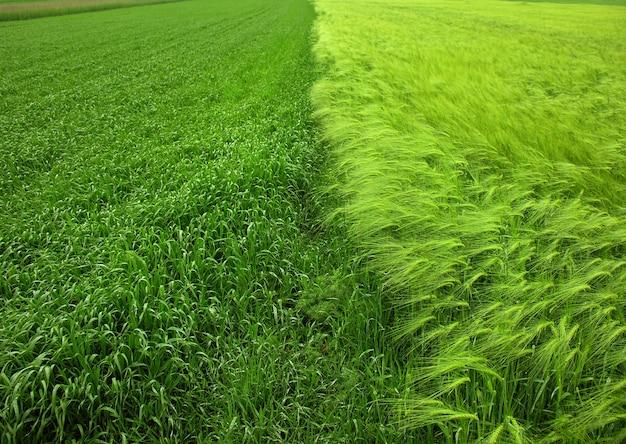 ライ麦、冬大麦、冬小麦は半分に分けられます