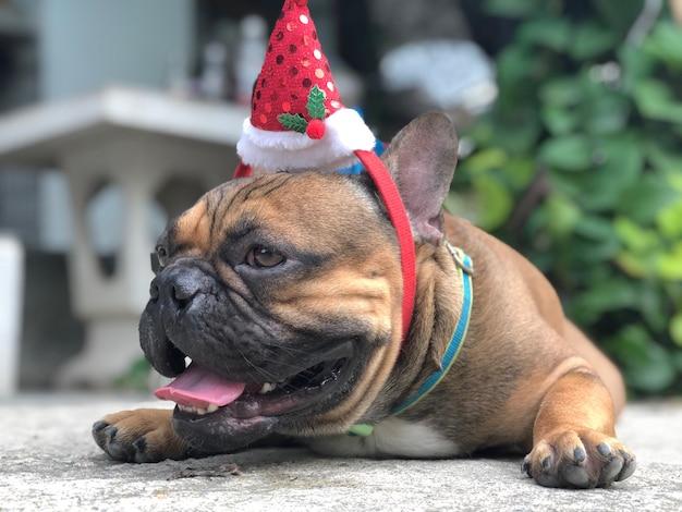 フランスのブルドッグの子犬セメントの床を横たわって、saのような赤いクリスマスの帽子を着て衣装を着て