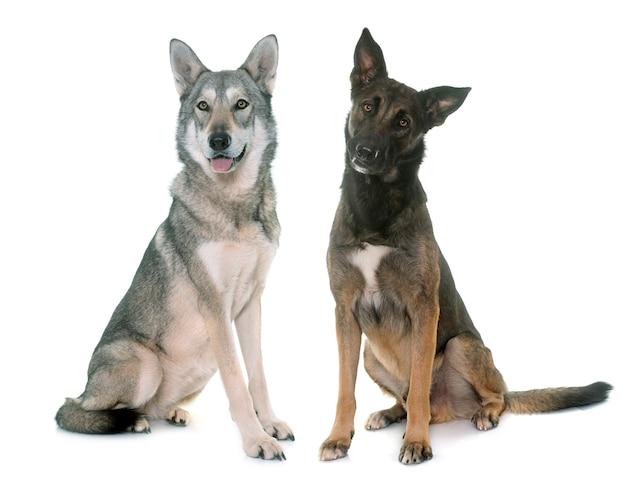 Saarloos dog and malinois