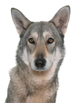 Saarloos wolfdog isolated
