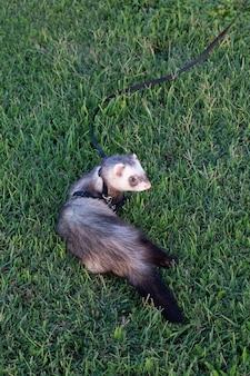 Детеныш соболя хорька в траве