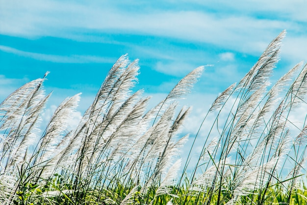 Saccharum spontaneum in the wind blue sky background