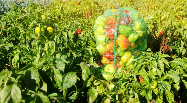 Sacks of fresh bell pepper in the field. eco-friendly products. agriculture and farming.