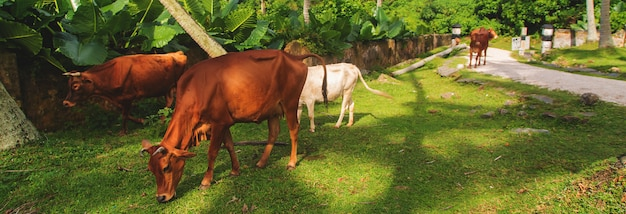 Sacred cows of india in nature
