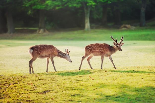 Священные пятнистые олени в парке нара утром