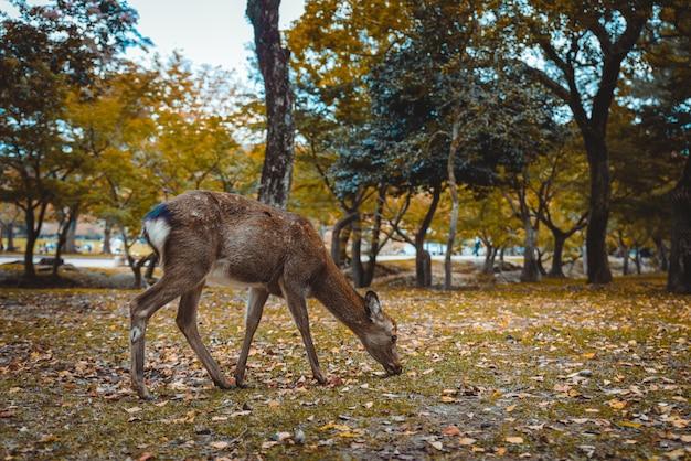 신성한 시카 사슴 나라 공원 숲, 일본