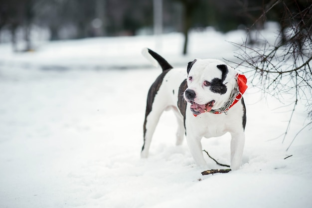 Sad american bulldog stands on the snow in the park