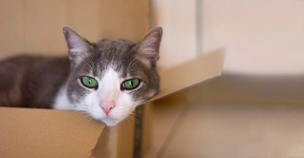A sad beautiful domestic graywhite cat with green eyes lies lonely in a cardboard box indoors