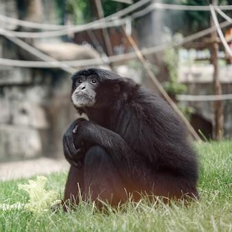 動物園の鳥小屋の草の上に座っている悲しい黒いフクロテナガザル、動物園の黒いテナガザルのフクロテナガザル