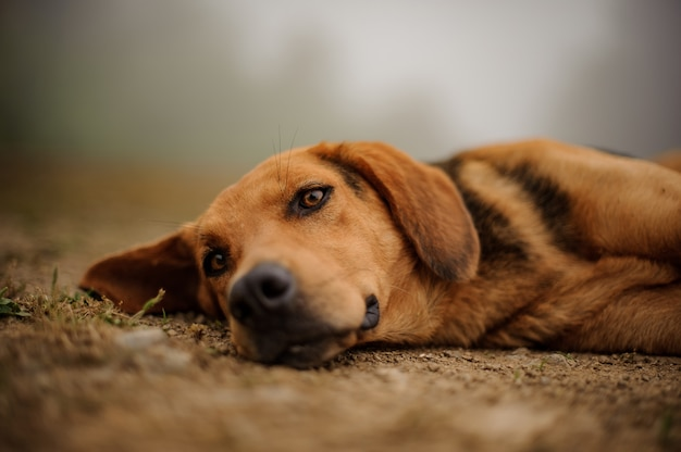 Sad brown puppy lying on a ground