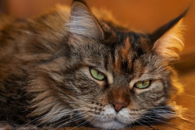 Грустное лицо кошки. больная кошка лежит на полу