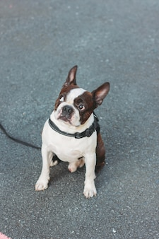 Sad dog boston terrier sits on the pavement and looking up