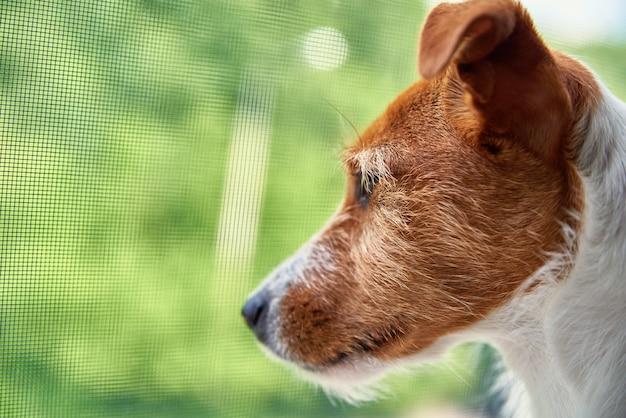 Sad dog looks at window