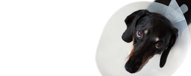 Sad dog lying on a bed sick with vet plastic elizabethan collar on neck