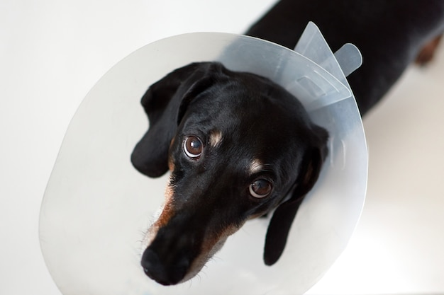 Sad dog lying on a bed sick with vet plastic elizabethan collar on neck.