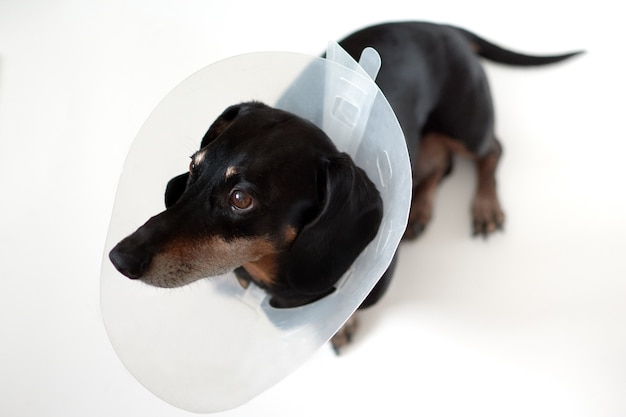 Sad dog lying on a bed sick with vet plastic elizabethan collar on neck