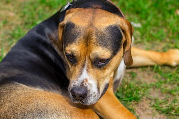草の上に横たわる悲しい犬雑種犬。